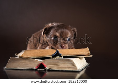 Chihuahua puppy on a colored background