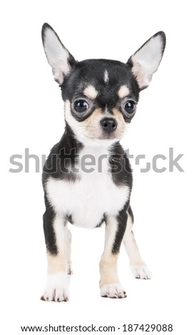 Chihuahua puppy on white background in studio