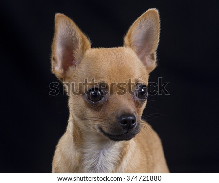 Chihuahua puppy portrait. Image taken in a studio with a black background.