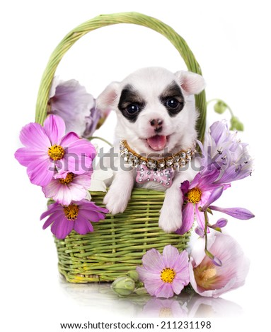 Chihuahua puppy portrait with pink flowers - stock photo