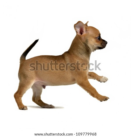 Chihuahua puppy running, isolated on white background - stock photo