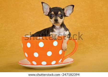 Chihuahua puppy sitting inside orange polka dot cup on orange background  - stock photo