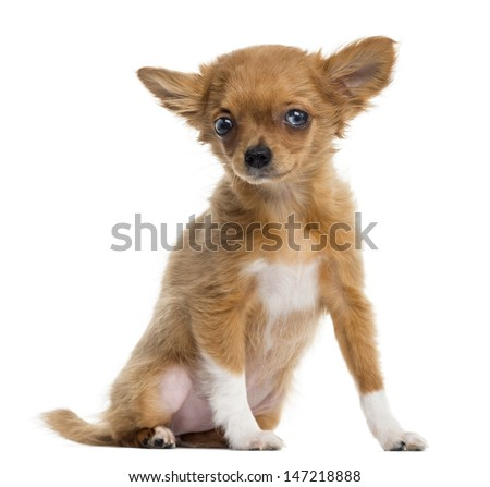 Chihuahua puppy sitting, looking at the camera, 4 months, isolated on white
