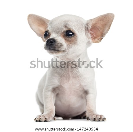 Chihuahua puppy sitting, looking up, 4 months, isolated on white