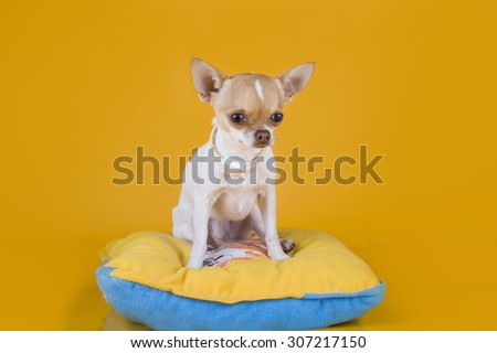 Chihuahua puppy sitting on a yellow pillow isolated background
