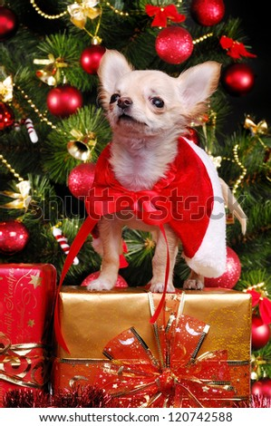 Chihuahua puppy sitting on present boxes on christmas tree background wearing christmas fancy dress - stock photo