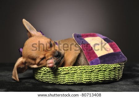 Chihuahua puppy sleeping in a green basket under a small blanket - stock photo