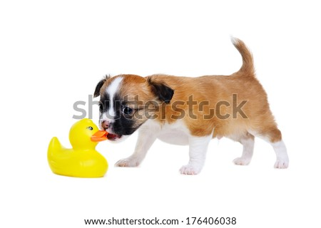 chihuahua puppy sniffing rubber duck - stock photo
