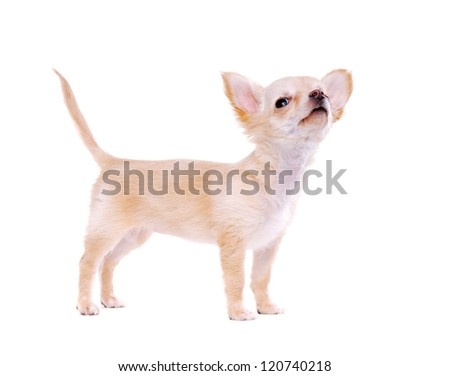 Chihuahua puppy standing on white background   looking to the copy space area