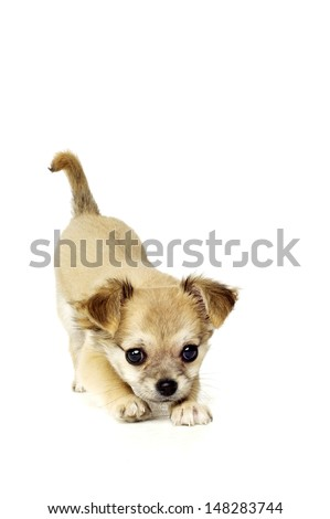 Chihuahua puppy stretching forwards isolated on a white background