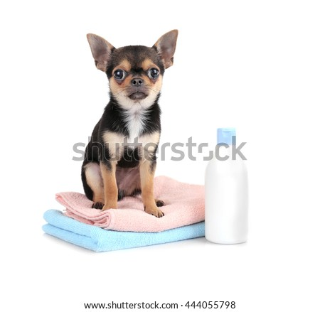 Chihuahua puppy, towels and shampoo bottle isolated on white - stock photo