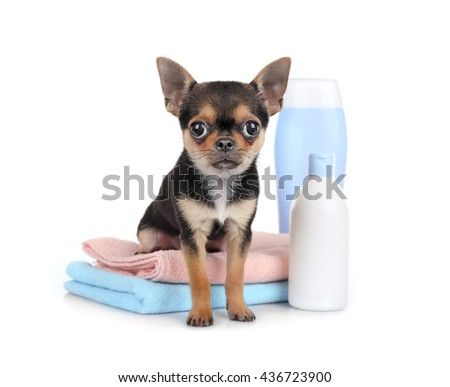 Chihuahua puppy, towels and shampoo bottles isolated on white
