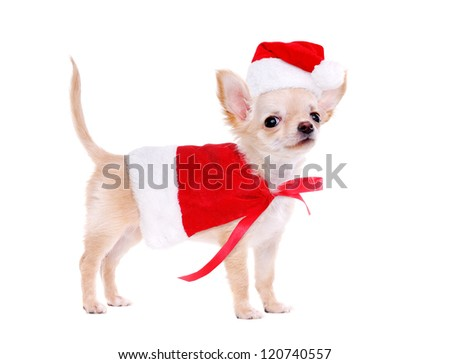 Chihuahua puppy wearing christmas fancy dress standing on white background