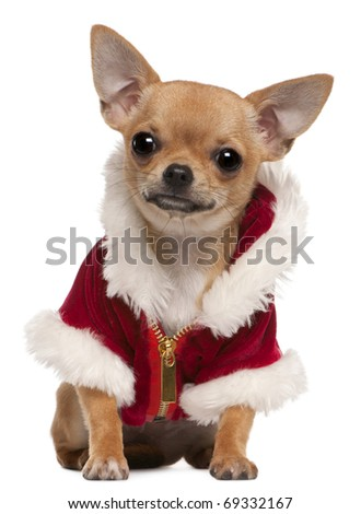 Chihuahua puppy wearing Santa coat, 6 months old, sitting in front of white background