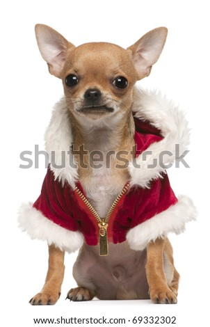 Chihuahua puppy wearing Santa coat, 6 months old, sitting in front of white background - stock photo