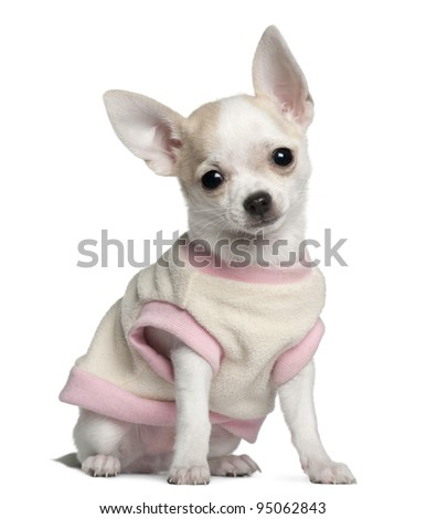 Chihuahua puppy, 11 weeks old, sitting in front of white background