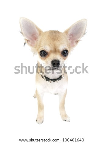 Chihuahua puppy with black leather studded collar standing on white background - stock photo