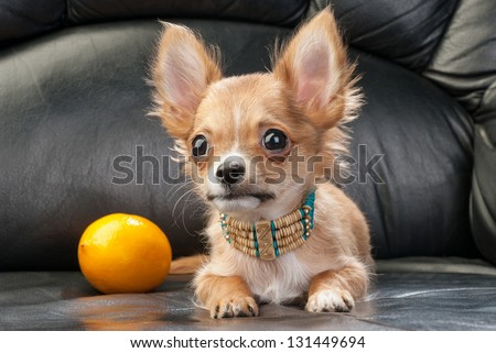 Chihuahua puppy with native Indian necklace and lemon on black leather background - stock photo