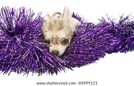 chihuahua puppy with shiny tinsel on white background