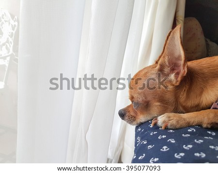 Chihuahua relaxing on a sofa