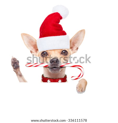 chihuahua santa claus dog behind a blank  banner,  isolated on white background on christmas holidays