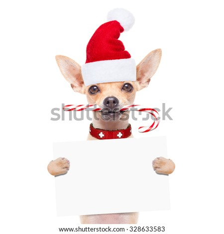 chihuahua santa claus dog behind a blank  banner or placard,  on christmas holidays, isolated on white background