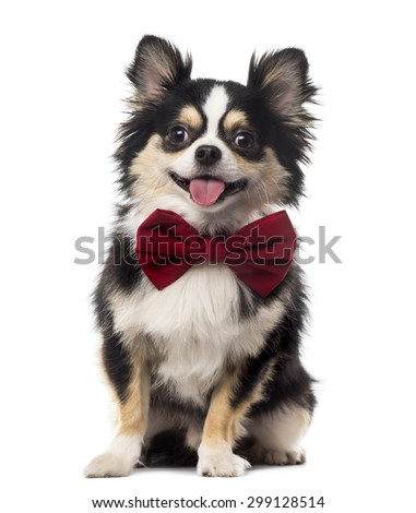 Chihuahua sitting and wearing a bow tie in front of a white background - stock photo