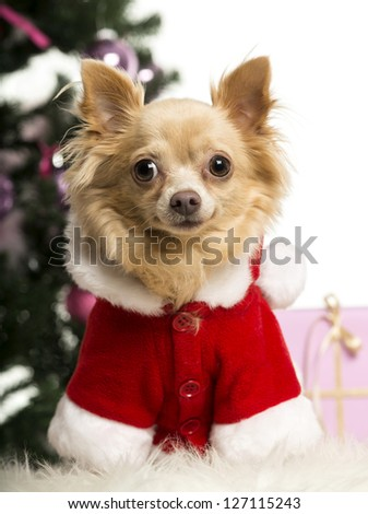 Chihuahua sitting and wearing a Christmas suit in front of Christmas decorations against white background