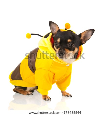Chihuahua sitting dressed as bee isolated over white background - stock photo