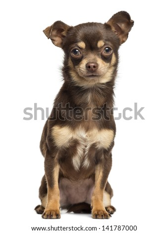 Chihuahua sitting, looking at the camera, 13 months old, isolated on white