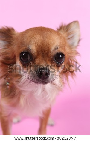 Chihuahua sitting on pink background