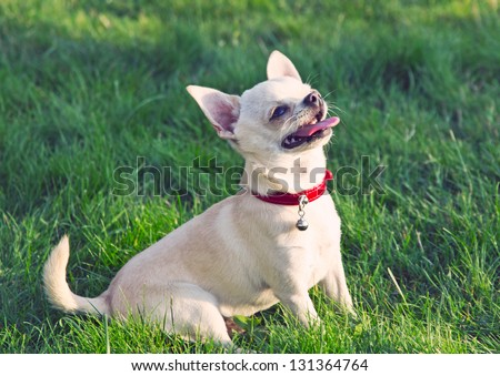 Chihuahua sitting on the grass . - stock photo
