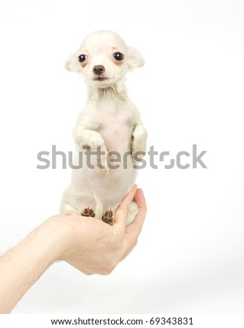Chihuahua small puppy on the white - stock photo