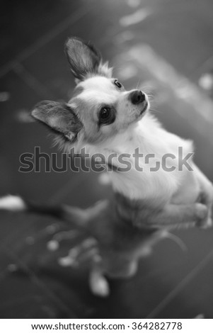 Chihuahua standing asking for food  - stock photo