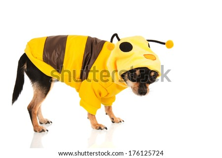 Chihuahua standing dressed as bee isolated over white background - stock photo