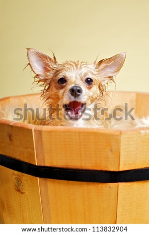 Chihuahua taking bath - stock photo