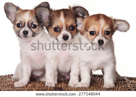 Chihuahua three puppies looking at the camera (isolated on white) - stock photo