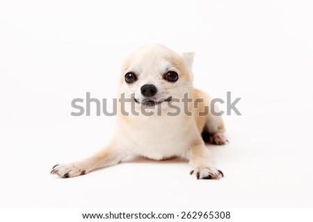chihuahua / tiny dog / lovely dog / t-cup dog / small dog / big eyes / sweet eyes/ smiling face / smile dog / little dog / puppy / puppet / cute dog / smart dog / smart face / acting dog / act art  - stock photo