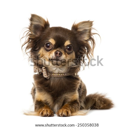 Chihuahua wearing a bow tie collar - stock photo
