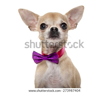 Chihuahua wearing a bow tie in front of a white background - stock photo