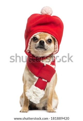 Chihuahua wearing christmas hat and scarf, sitting, isolated on white