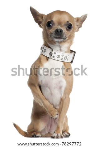 Chihuahua wearing collar, 2 and a half years old, sitting in front of white background - stock photo