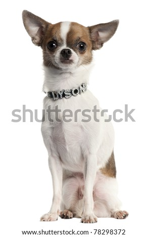 Chihuahua wearing diamond name tag collar sitting in front of white background - stock photo