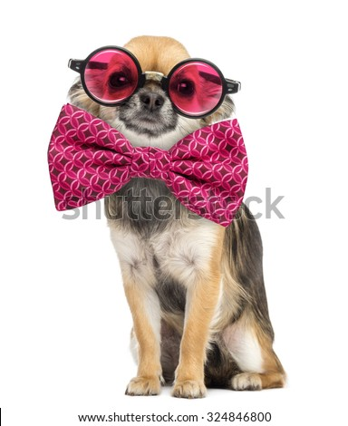 Chihuahua wearing round glasses and a bow tie in front of white background - stock photo