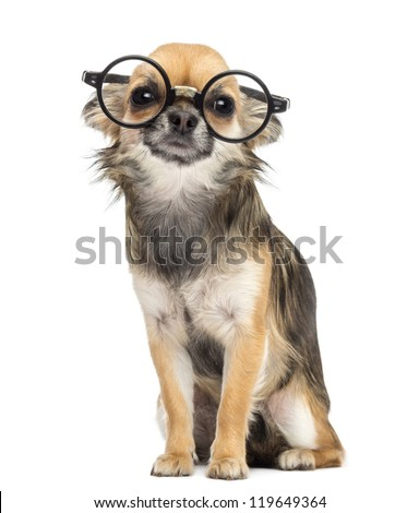 Chihuahua wearing round glasses ,sitting and looking at camera against white background - stock photo