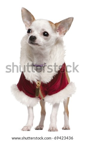 Chihuahua wearing Santa coat and collar, 8 months old, standing in front of white background