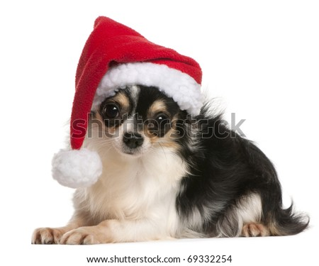 Chihuahua wearing Santa hat, 18 months old, lying in front of white background - stock photo