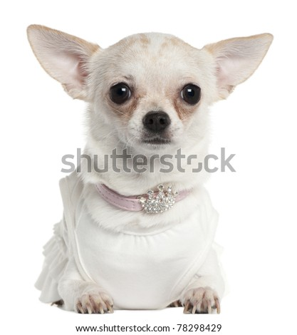 Chihuahua wearing tiara collar, 10 months old, in front of white background - stock photo