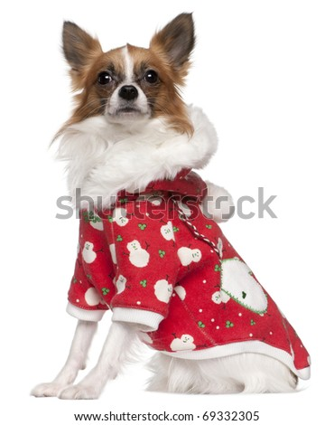 Chihuahua wearing winter outfit, 2 years old, sitting in front of white background - stock photo