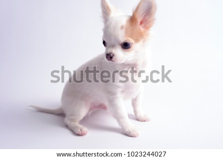 chihuahua white color on a white background